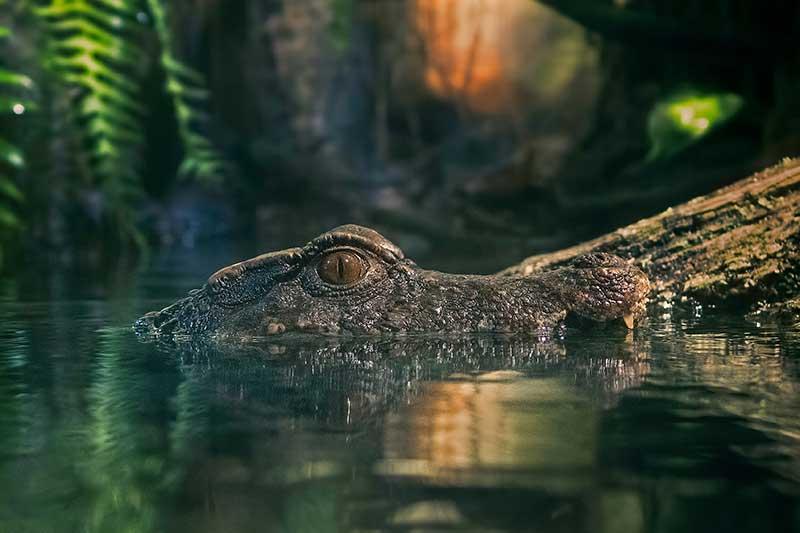 alligator-dreams
